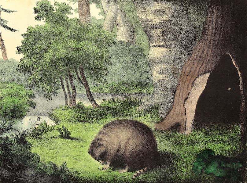 The Cabinet of Natural History & American Rural Sports Vol. 2 - Racoon (1832)