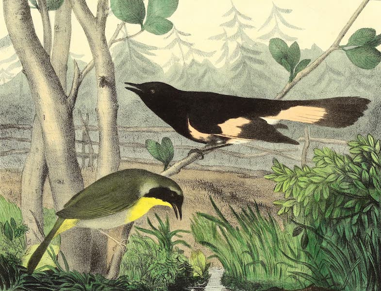 The Cabinet of Natural History & American Rural Sports Vol. 2 - Maryland Yellow Throat and American Redstart (1832)