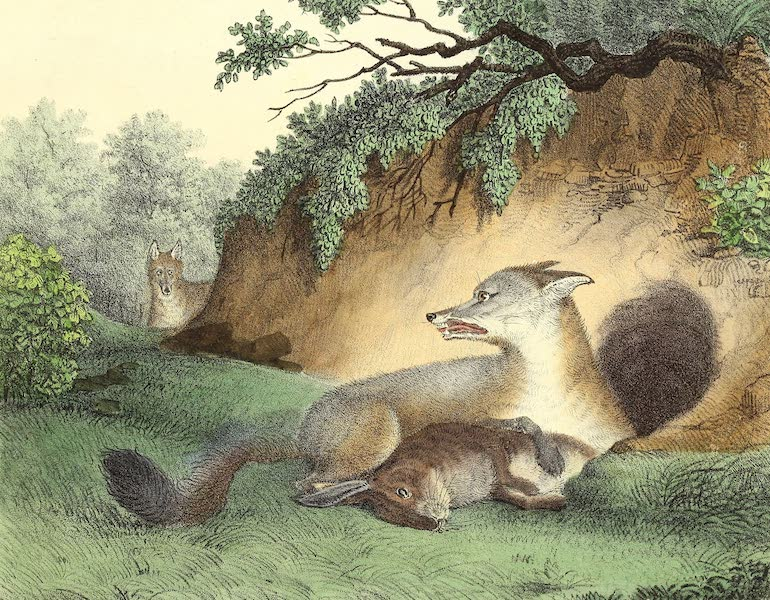 The Cabinet of Natural History & American Rural Sports Vol. 2 - Grey Fox (1832)
