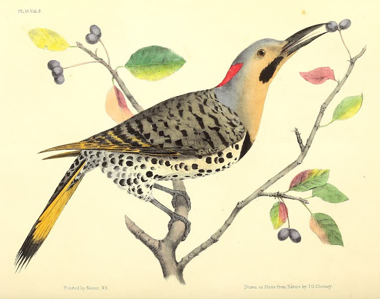 The Cabinet of Natural History & American Rural Sports Vol. 2 - Flicker or Golden Winged Woodpecker (1832)