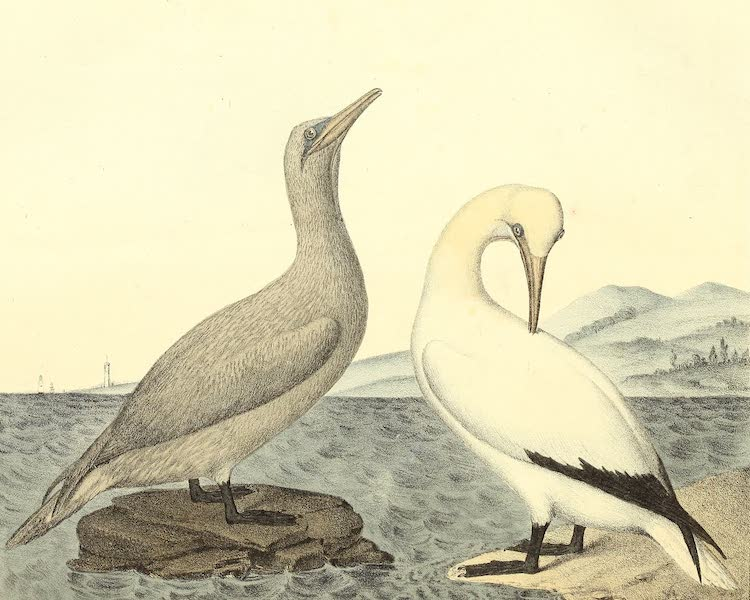 The Cabinet of Natural History & American Rural Sports Vol. 2 - Young Gannet and Adult Gannet (1832)