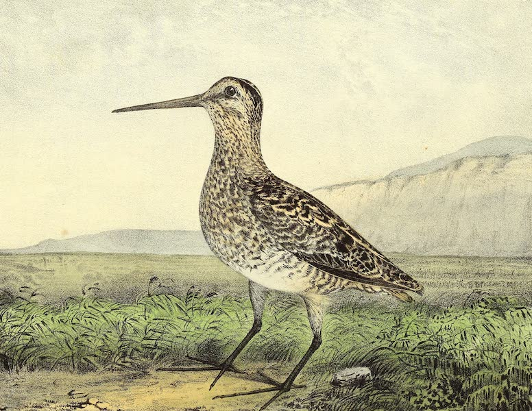 The Cabinet of Natural History & American Rural Sports Vol. 2 - Snipe (1832)