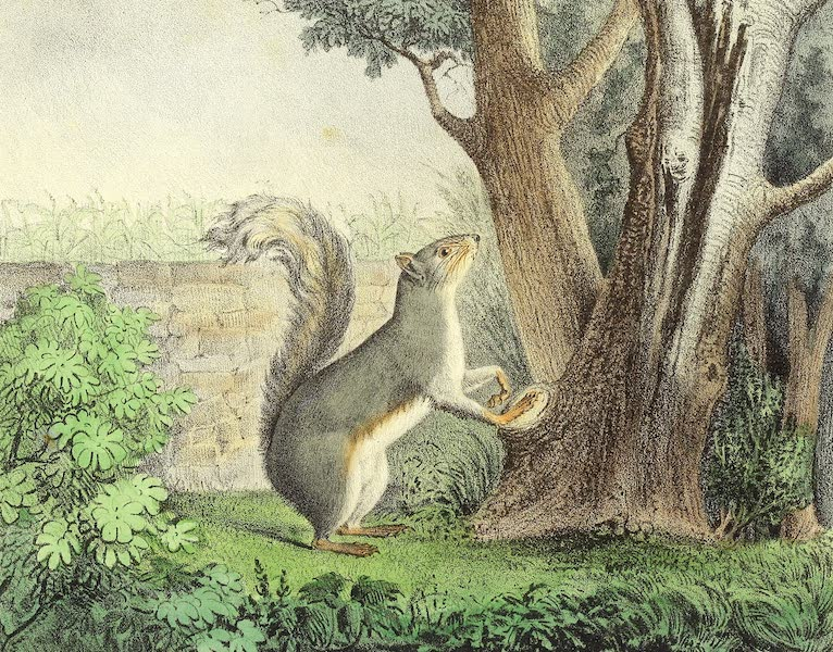 The Cabinet of Natural History & American Rural Sports Vol. 2 - Grey Squirrel (1832)