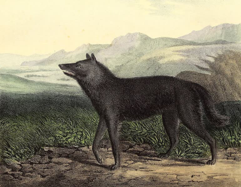 The Cabinet of Natural History & American Rural Sports Vol. 2 - Black Wolf (1832)