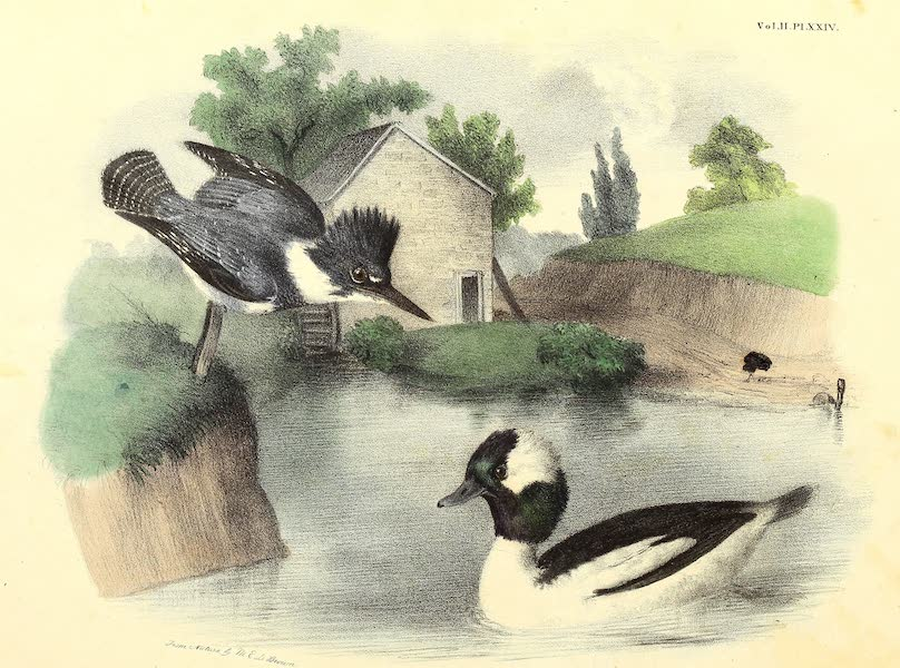 The Cabinet of Natural History & American Rural Sports Vol. 2 - Belted King Fisher and Buffel Headed Duck (1832)