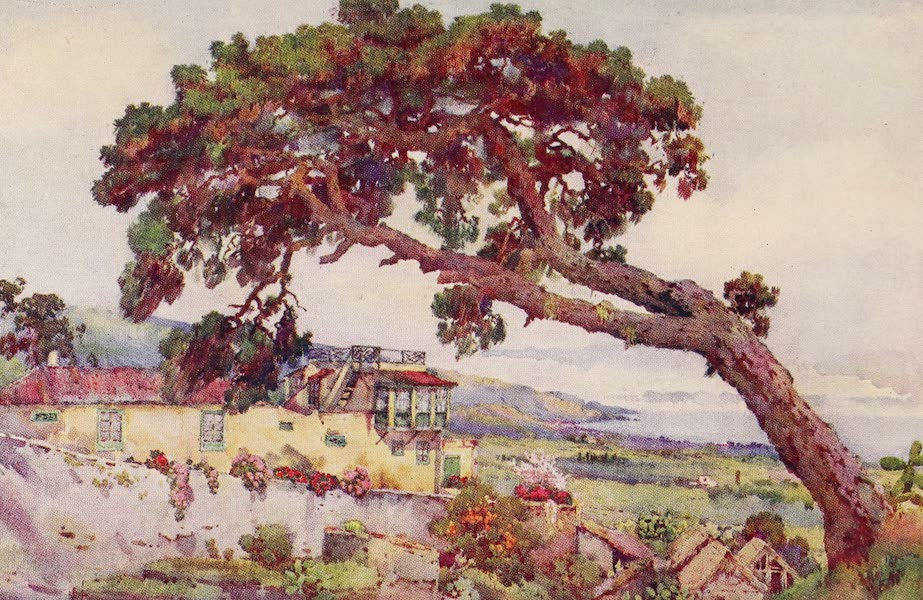 The Canary Islands, Painted and Described - The Canary Pine (1911)