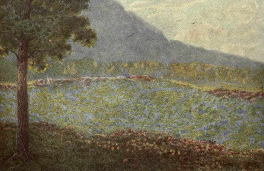 The Cape Peninsula: Pen and Colour Sketches - Blue Hydrangeas at Groote Schuur (1910)