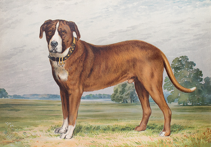 The Celebrated Dogs of America - [Dog No. 1] (1879)