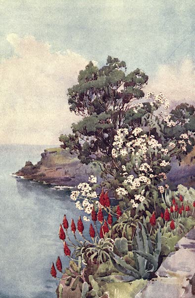The Flowers and Gardens of Madeira - Aloes and Daisy Tree (1909)