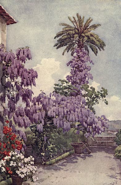 The Flowers and Gardens of Madeira - Wistaria, Quinta da Levada (1909)