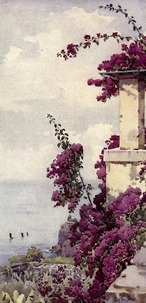 The Flowers and Gardens of Madeira - The Purple Bougainvillea (1909)