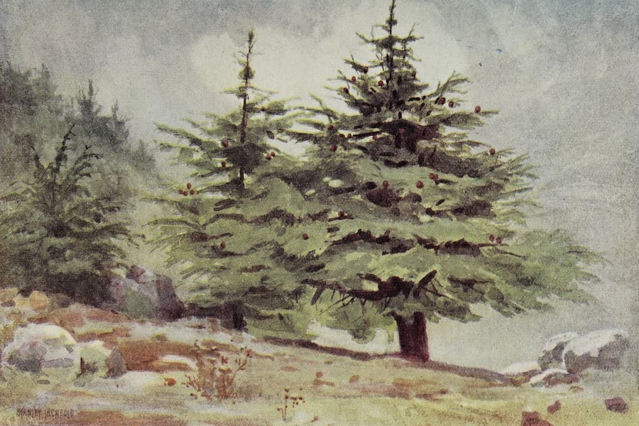 The Home of Fadeless Splendour or, Palestine of Today - Cedars of Lebanon, the Original Home of the Maronites (1921)