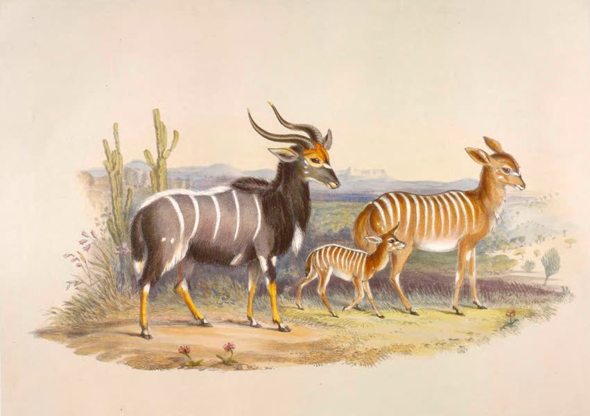 The Kafirs Illustrated in a Series of Drawings - The new Antilope from St Lucia Bay (1849)