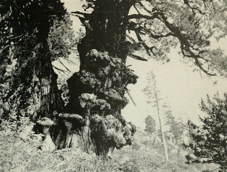 The Lake of the Sky, Lake Tahoe - A gnarled monarch of the High Sierras, an aged Juniper, near Lake Tahoe (1915)