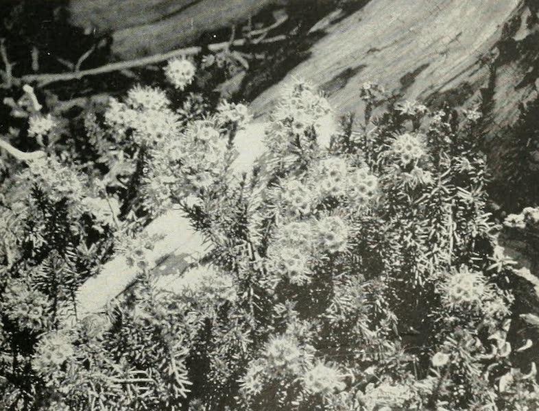 The Lake of the Sky, Lake Tahoe - Mountain Heather, in Desolation Valley, near Lake Tahoe (1915)