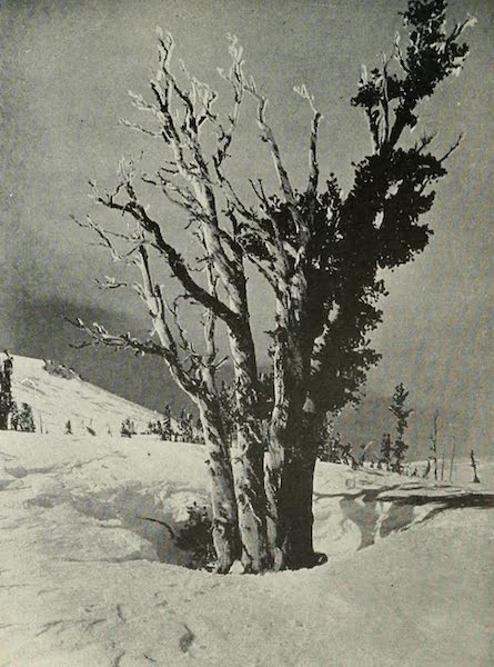 The Lake of the Sky, Lake Tahoe - An Alpine White Pine, defying the storms, on the north slope of Mt. Rose, 9,500 Ft. (1915)