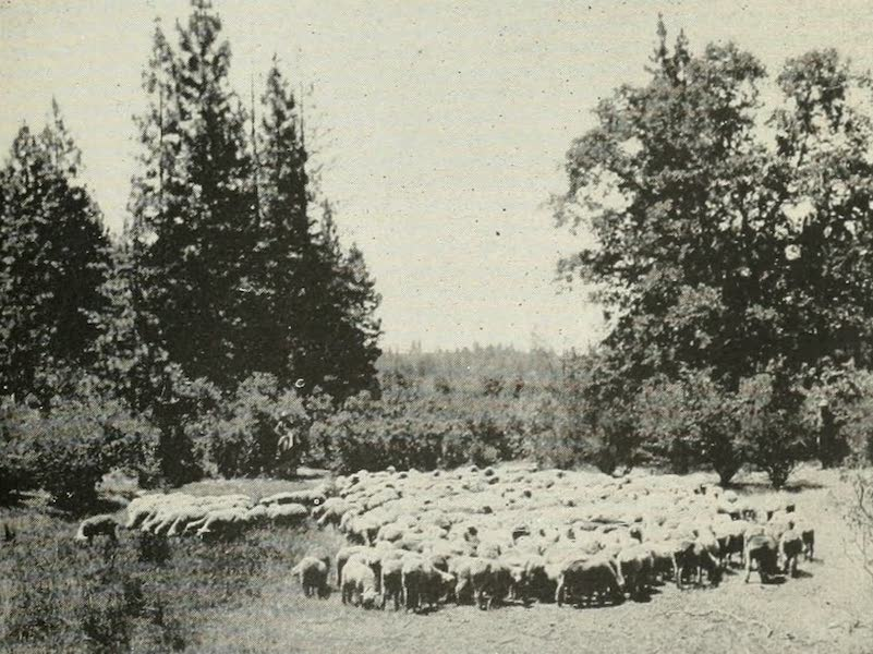 The Lake of the Sky, Lake Tahoe - Flock of Sheep being driven from the Tahoe National Forest (1915)