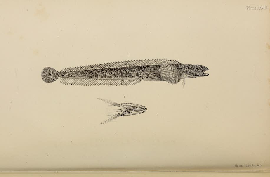 The Last of the Arctic Voyages Vol. 2 - Natural History Drawings V (1855)