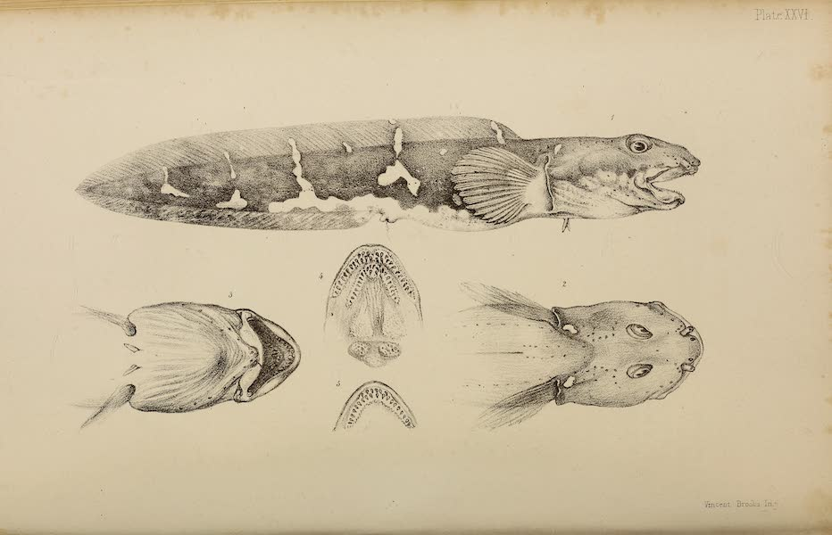 The Last of the Arctic Voyages Vol. 2 - Natural History Drawings VI (1855)