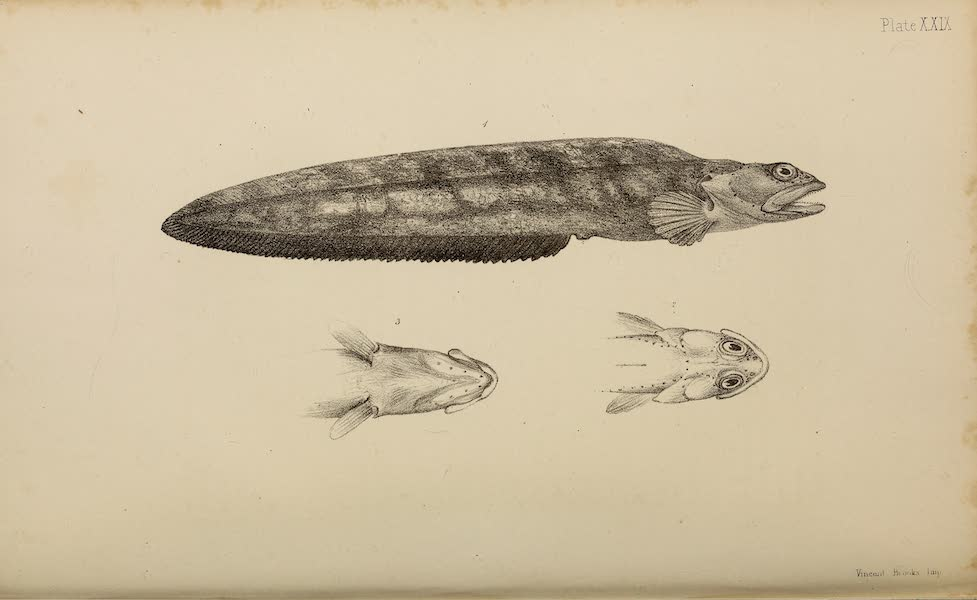 The Last of the Arctic Voyages Vol. 2 - Natural History Drawings VII (1855)