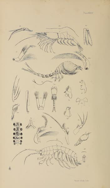 The Last of the Arctic Voyages Vol. 2 - Natural History Drawings XIII (1855)