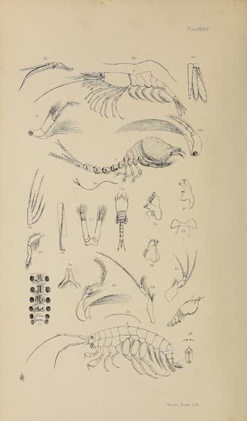 Natural History Drawings XIII