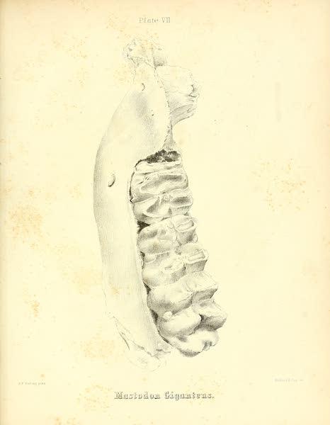 The Mastodon Giganteus of North America - Mastodon giganteus - Plate VII (1852)
