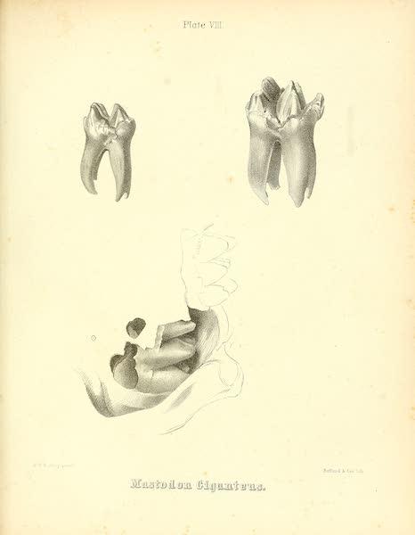 The Mastodon Giganteus of North America - Mastodon giganteus - Plate VIII (1852)
