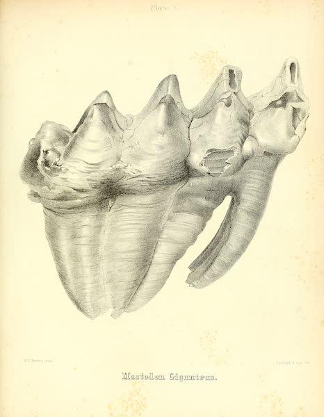 The Mastodon Giganteus of North America - Mastodon giganteus - Plate X (1852)