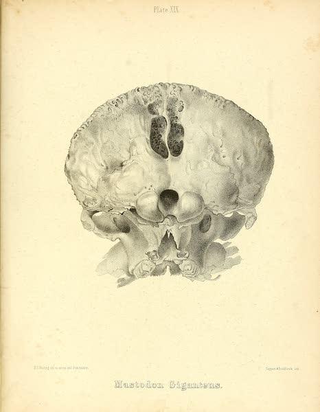 The Mastodon Giganteus of North America - Mastodon giganteus - Plate XIX (1852)