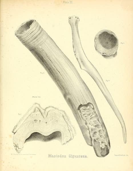 The Mastodon Giganteus of North America - Mastodon giganteus - Plate XX (1852)