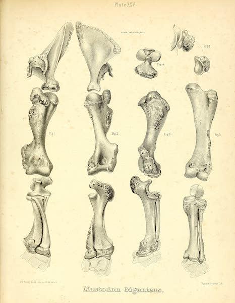 The Mastodon Giganteus of North America - Mastodon giganteus - Plate XXV (1852)