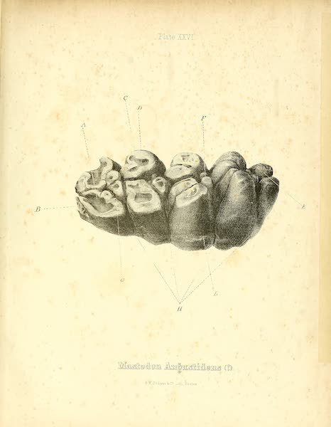 The Mastodon Giganteus of North America - Mastodon giganteus - Plate XXVI (1852)