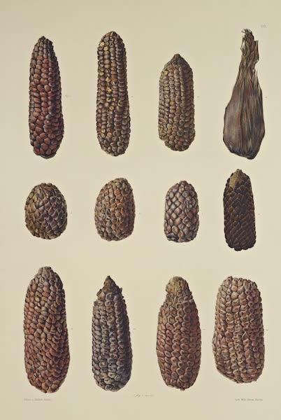 The Necropolis of Ancon Vol. 3 - Maize Cobs (1880)