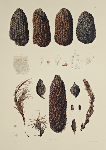 The Necropolis of Ancon Vol. 3 - Maize Cobs and other Plants (1880)