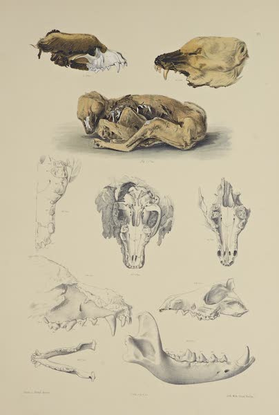 The Necropolis of Ancon Vol. 3 - Remains of Dogs and Foxes (1880)