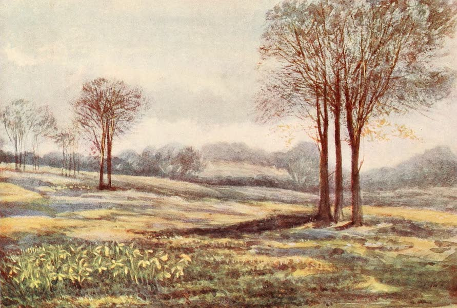 The New Forest Painted and Described - Wild Daffodils at Minstead. March (1904)