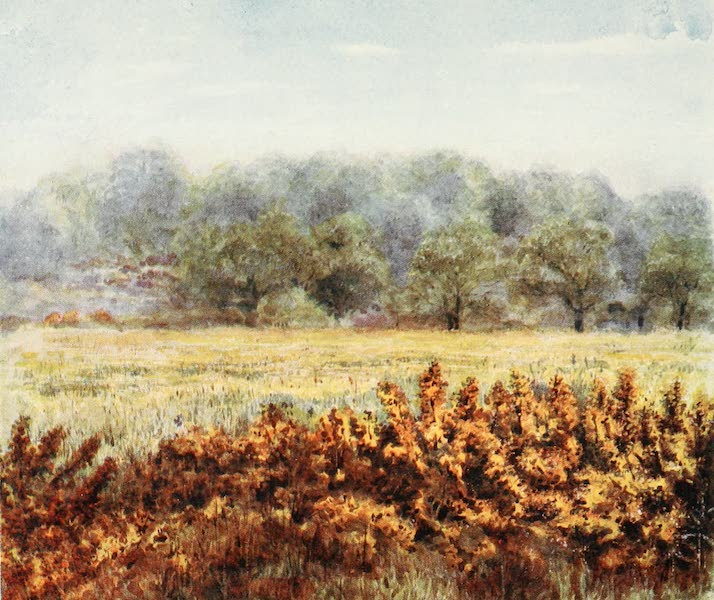 The New Forest Painted and Described - Flower of the Gorse, from Park Hill Lawn (1904)