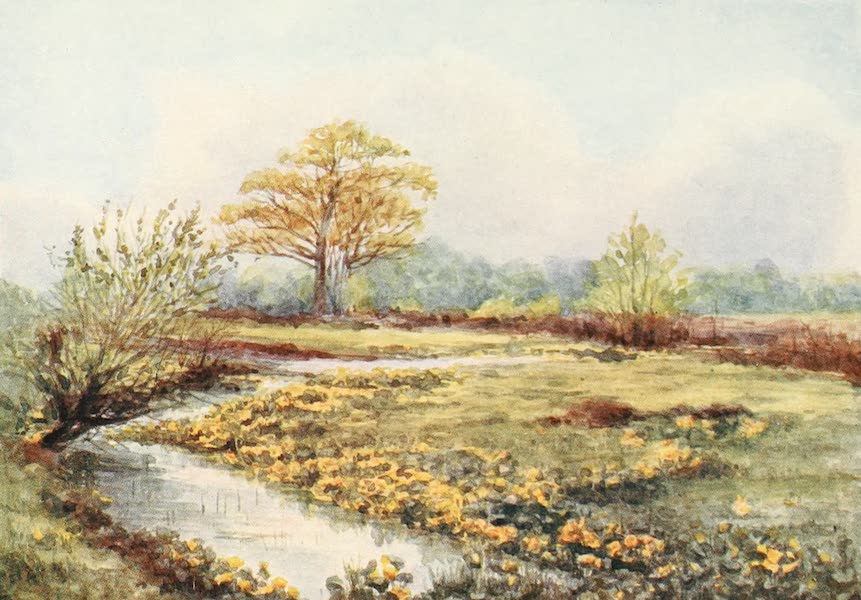 The New Forest Painted and Described - Marsh Marigolds at Longwater. Spring (1904)