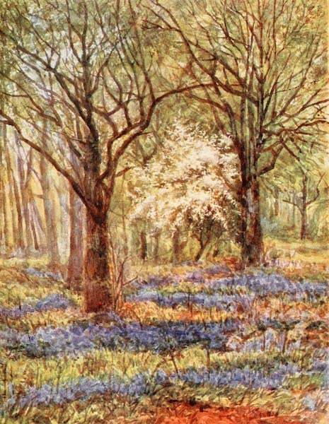 The New Forest Painted and Described - Bluebells in the OakWood. May (1904)