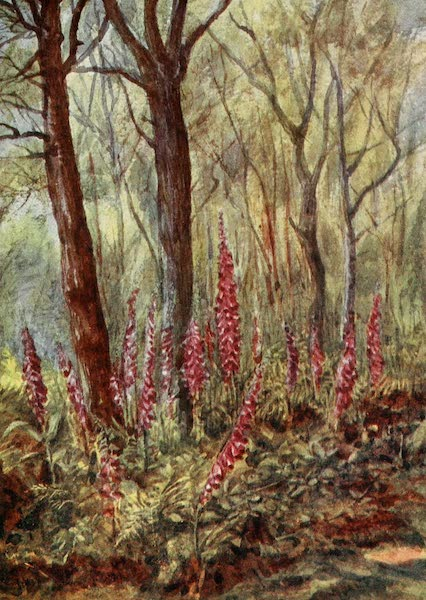 The New Forest Painted and Described - Foxgloves in ' The Enclosure.' June (1904)