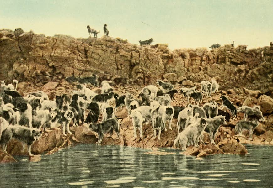 Eskimo Dogs of the Expeditions (246 in all) on Small Islands, Etah, Fjord