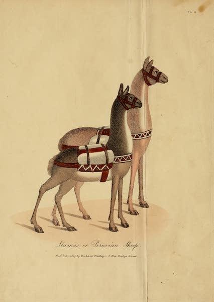 The Present State of Peru - Llamas or Peruvian Sheep (1805)