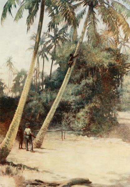 The Savage South Seas, Painted and Described - Solomon Island Boy climbing after green cocoa-nuts, near Gavutu, New Florida (1907)
