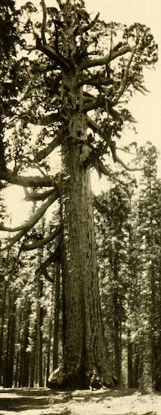 """Three Wonderlands of the American West - """"Grizzly Giant,"""" Mariposa Grove, California (1912)"""
