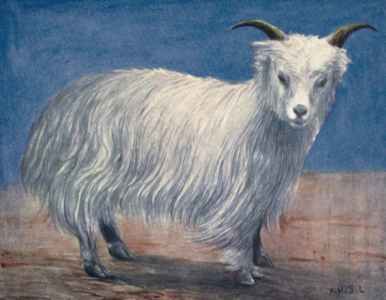 Tibet and Nepal, Painted and Described - Tibetan Goat (1905)