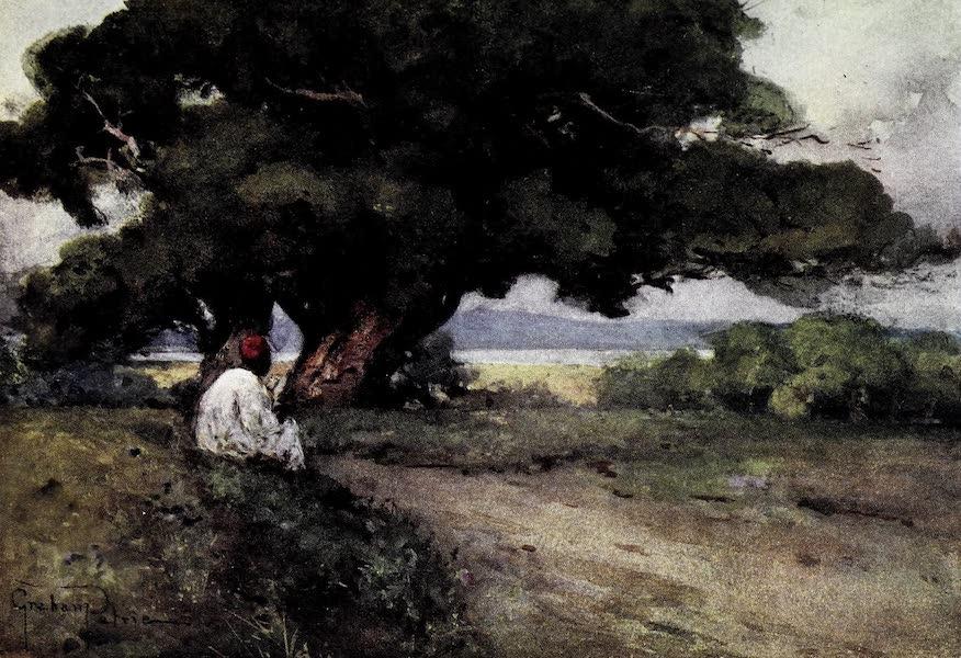 Tunis, Kairouan & Carthage - A Venerable Tree, Maxula-Rades (1908)