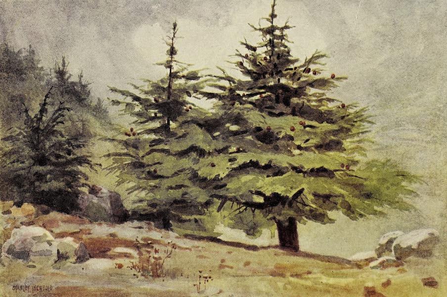 Under the Syrian Sun Vol. 1 - Cedars of Lebanon (1907)
