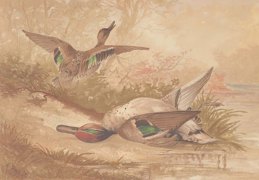 Upland Game Birds and Water Fowl - The Green-Winged Teal (1877)