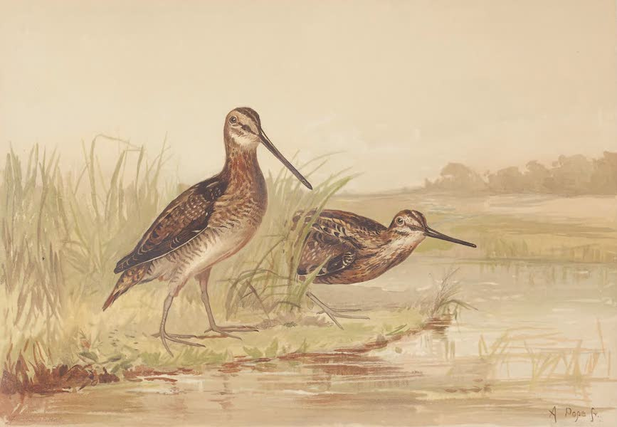 The American Snipe